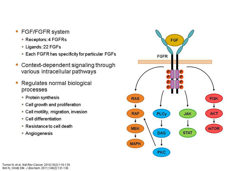 Fibroblast Growth Factor 2 The Fibroblast Growth Factor
